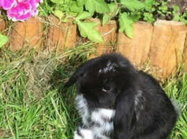 Mini lop rabbit doe 2 years olf