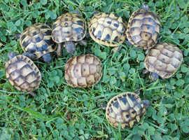 English bred 'garden' tortoises.