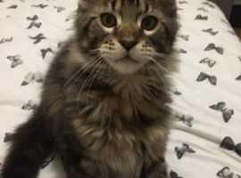 lovely friendly kitten for sale