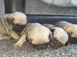 Pure breed pugs