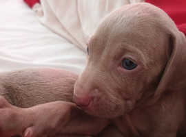 ** KC Registered Weimaraner Puppies For Sale **