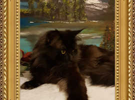 Maine Coon for Stud diutes.