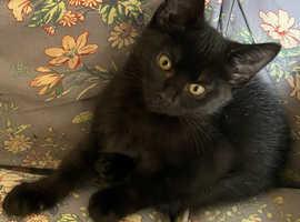 Adorable Friendly Jet Black Boy Kitten