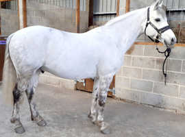 Flashy 14.2hh Connemara Gelding