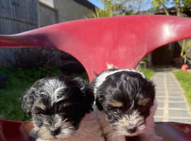 Selling bichon havaneses lovely puppies