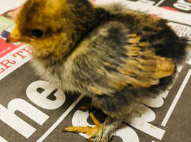 Barbu D'uccle millefleur X Booted bantams