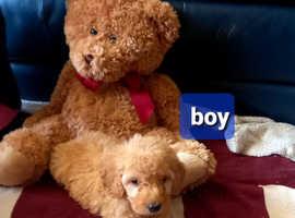 GOLDEN AND RED COCKERPOO PUPPIES