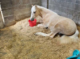 Palomino section d x cob Gelding