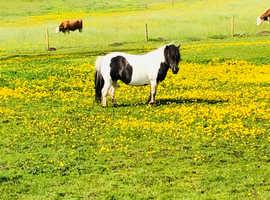 Outstanding Shetland Pony