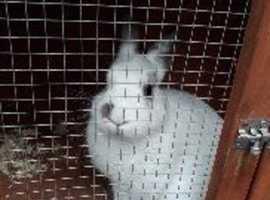 Male neutered rabbit