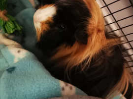 Northern Ireland Guinea pigs for sale, pair of males and pair of females