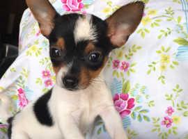 Chihuahua cross jack russel