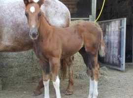 Paint x Appaloosa Filly & Quarter Horse