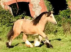 Quality Traditional Dun Cob Yearling filly