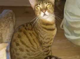 Female Bengal to rehome