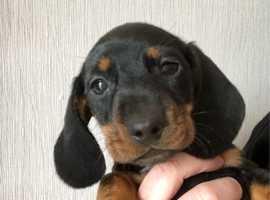 Champion lines miniature dachshund kc reg puppies