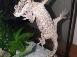 Male gargoyle gecko not fully grown