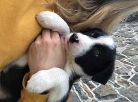 ISDS registered bitch puppy