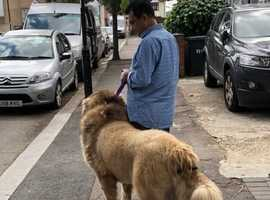 Meet My BOSS One of the Biggest Stud Dog in this Country London UK ( STUD ONLY NOT FOR SALE )