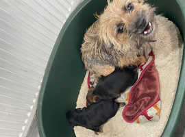 KC border terrier pups