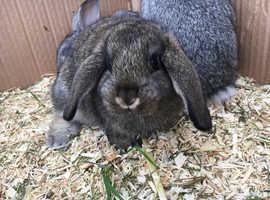 2 baby mini lop rabbits left for sale