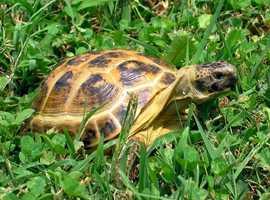 adult garden tortoise