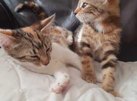 2 x Tabby Kittens For Sale - Swinton