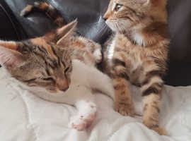 2 x Tabby Kittens For Sale