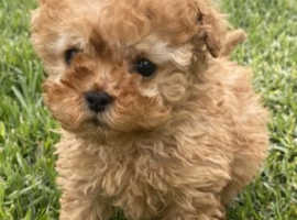 Toy poodle puppies male and female