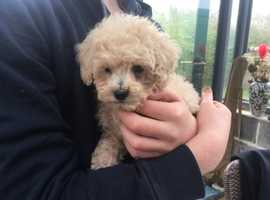 Gorgeous F1  Poochon Puppies for sale (Ready to leave) 1 female and 1 Male available.