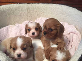 4 cavalier King Charles puppies