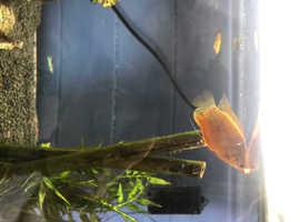 1 red robin gourami