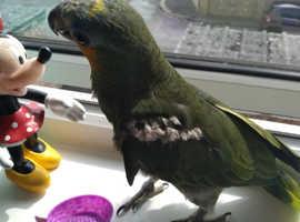 Amazon parrot male