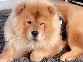 Chow chow boy Leo