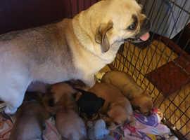 Pugalier puppys