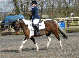 14hh 14yo Irish Skewbald Gelding