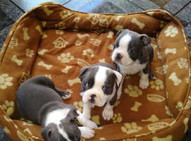 Boston Blue Terriers all Male