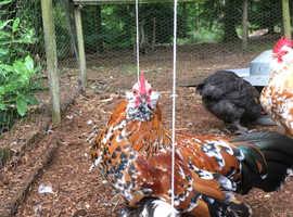 Bantam Cockerel chicks