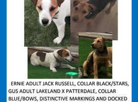 Jack Russell terrier and Lakeland cross missing