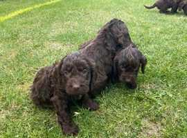 Beautiful chocolate cockerpoo puppies