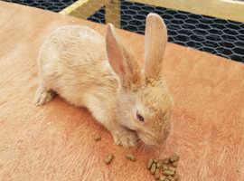 Baby English Spot Rabbit