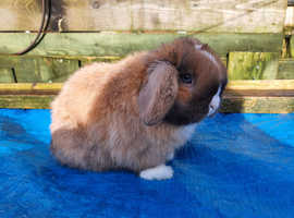 Pure minilop rabbit