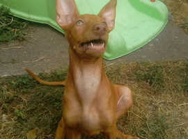Pharaoh hound puppies