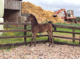 Sport/show colt foal to make 148 cm, top quality