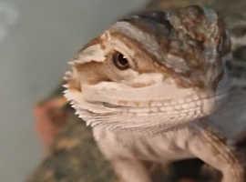Butfull baby bearded dragon