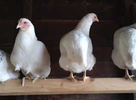Poultry for sale, hybrids & purebreds.