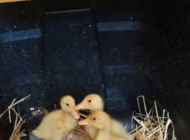 Aylesbury ducklings for sale