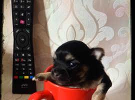 Chunky tiny baby chihuahua