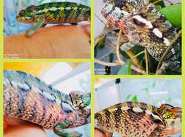 PANTHER CHAMELEONS WOW