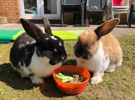 2 female rabbits for sale, ready to leave now